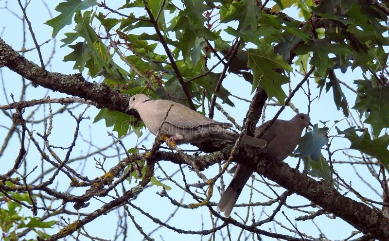 Pigeon deux dans l'arbre photos libres de droits