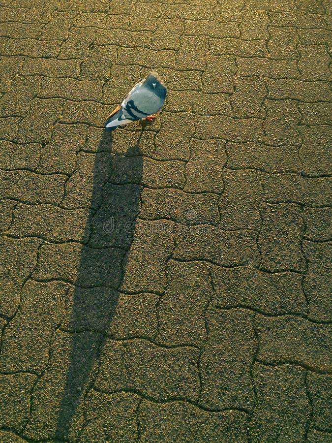 Pigeon domestique solitaire, Columba Livia, éclairée à contre-jour par lumière du soleil de matin photographie stock libre de droits