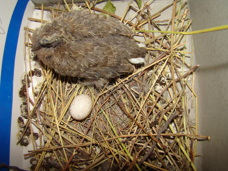 Pigeon, Dove Close Up Baby Bird Hatching Pigeon, Dove ...