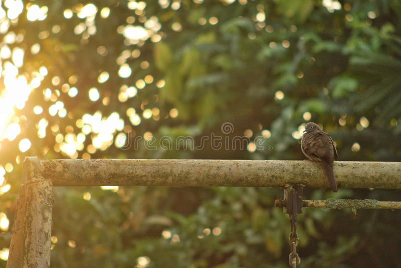 Pigeon dove posing in morning sunlight. royalty free stock photo