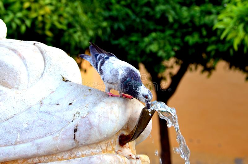 Pigeon drinking water from the fountain stock image