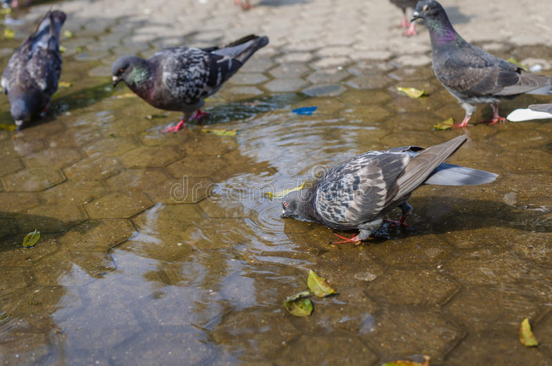 Pigeon drinking water stock images