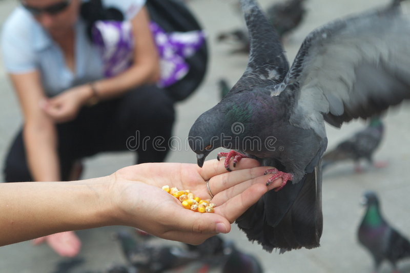 Pigeon Eating Corn From Hand stock photos