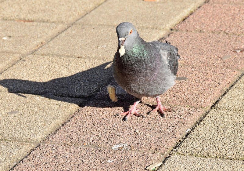 The pigeon eating some bread, cakes,. The detail of the street where a pigeon eating some bread, cakes stock photo