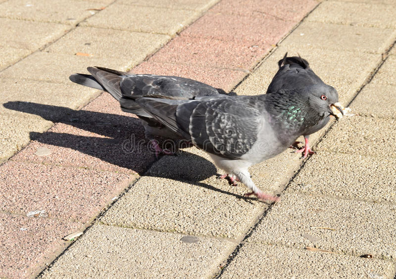 The pigeon eating some bread, cakes,. The detail of the street where a pigeon eating some bread, cakes stock image