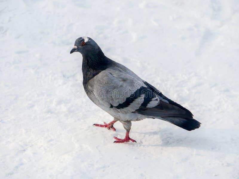 Pigeon en parc sur la neige Pigeons congelés dans l'horaire d'hiver photo stock