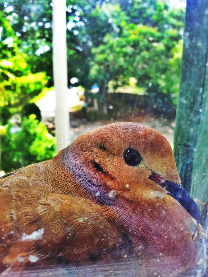 Pigeon en verre photos stock