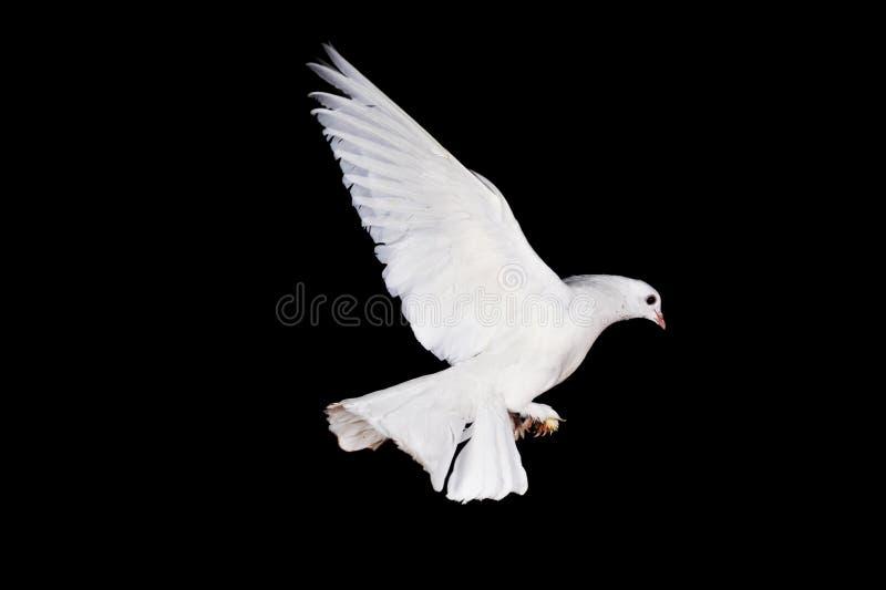 Pigeon et main blancs image libre de droits