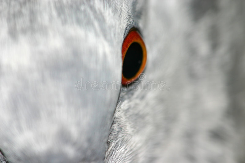 Pigeon eye stock images