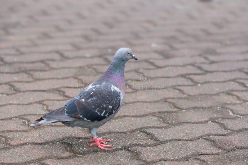 Pigeon Facing Right stock photos