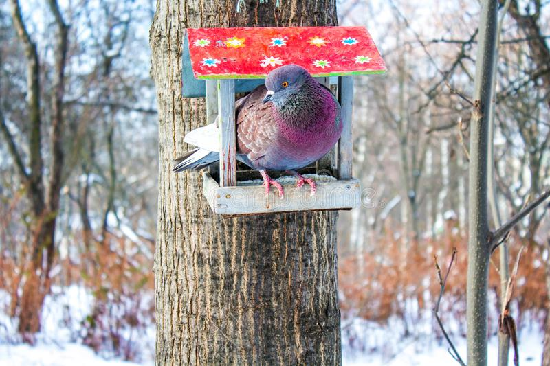Pigeon in the feeder. Bird in the feeder, bird in the park, dove in the park, feathers pattern, feed the birds, feeding trough, manger in the forest, morning in royalty free stock images