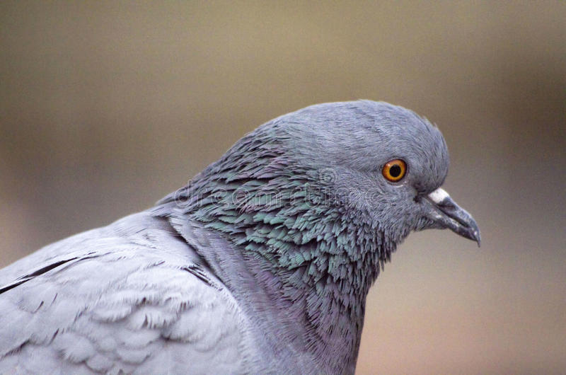 Pigeon. Feral pigeons (Columba livia domestica), commonly known as city doves, city pigeons, or street pigeons, are domestic pigeons found in most of the cities stock image