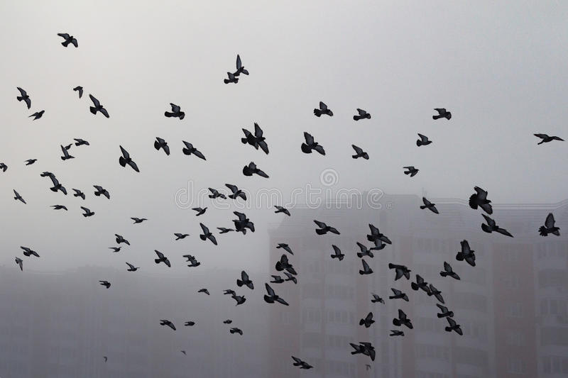 Pigeon flock in a foggy city. Bird silhouettes in a deep fog royalty free stock image