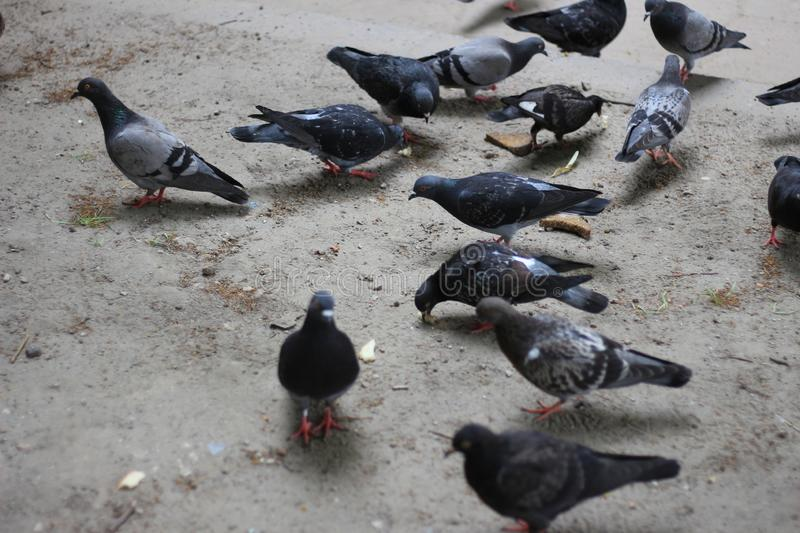Pigeon flock in search of food. A bird pecking bread crumbs. Feeding pigeons in the Park stock images