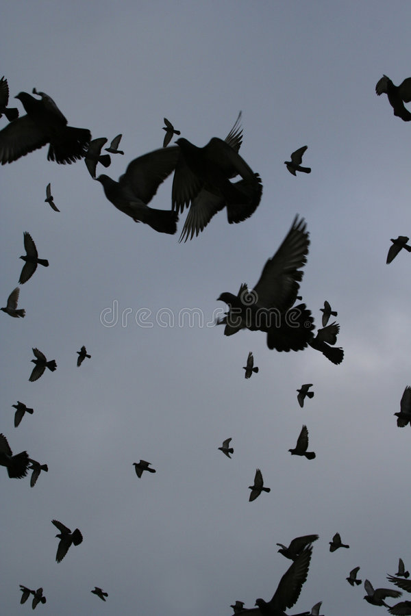 Pigeon fly stock photography