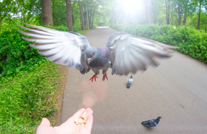 Pigeon fly on hand palm food nuts and park.  royalty free stock photography
