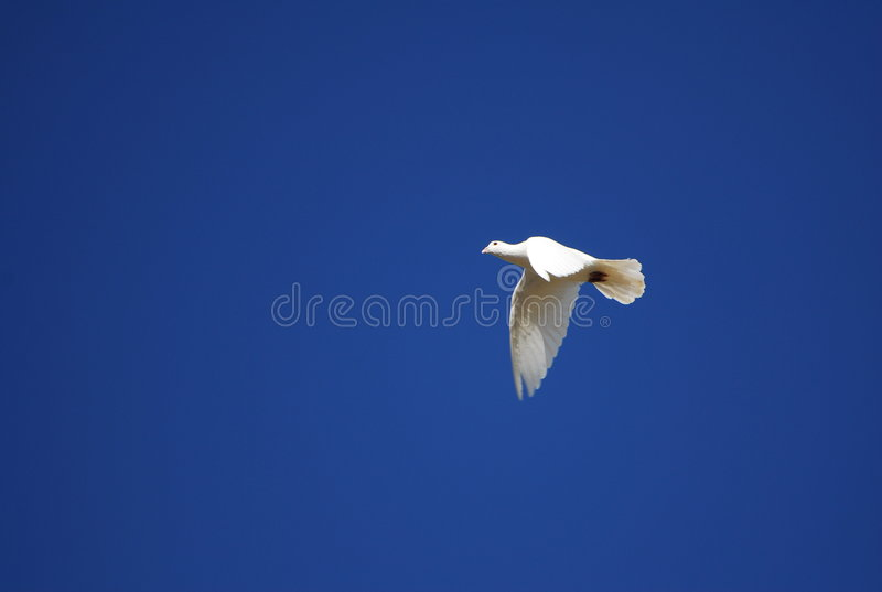 Pigeon flying in blue sky royalty free stock photos