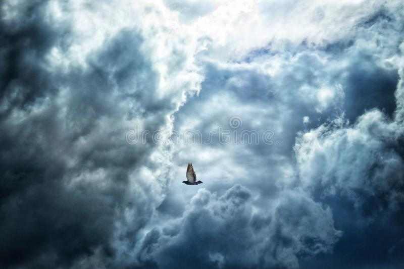 Pigeon flying in the clouds. A Pigeon flying hard to escape from the coming storm