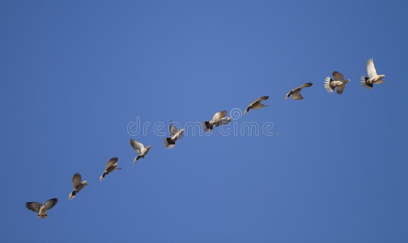 Download Pigeon flying states stock image. Image of same, blue - 25559433