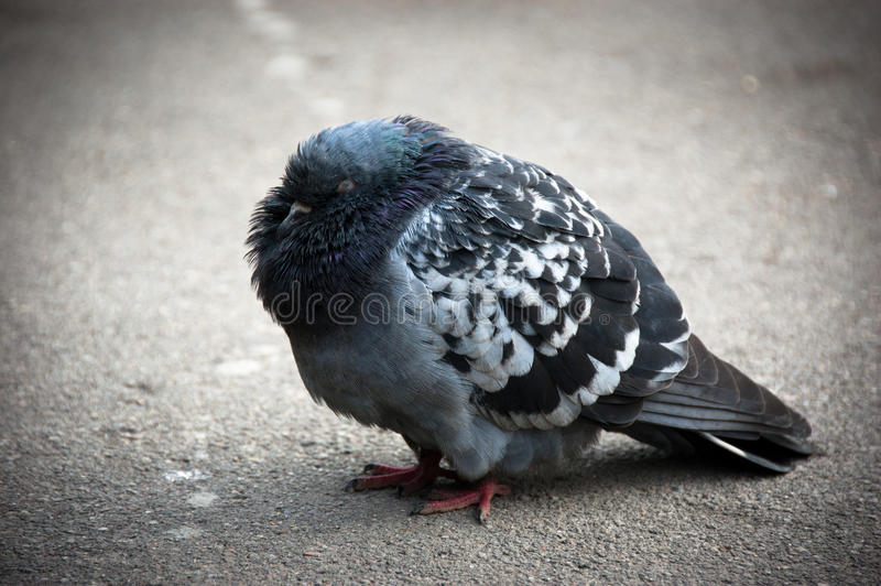 Pigeon froid photo stock