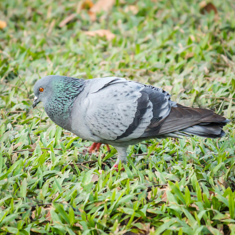 Pigeon. Is green and blue/grey bird looking for foods stock images