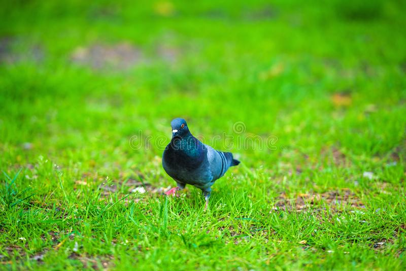 pigeon on green grass royalty free stock photos