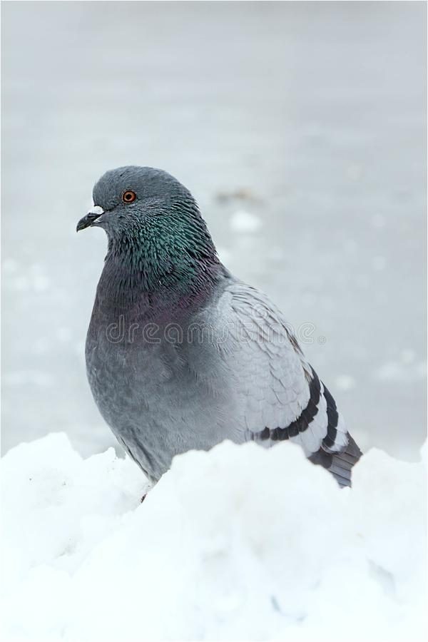 Pigeon grey stock images