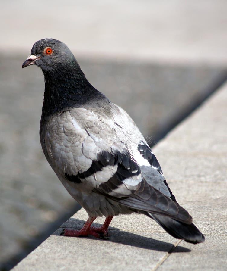 Pigeon gris photos stock