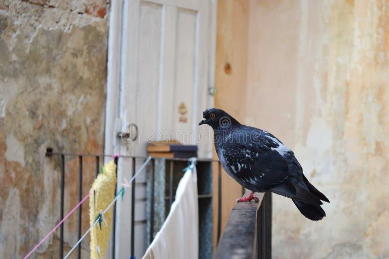 Pigeon gris image libre de droits