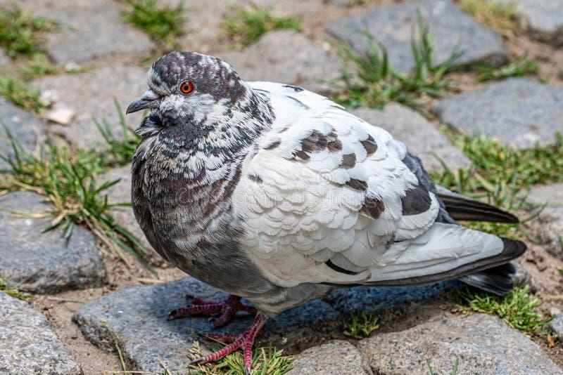 Pigeon gris Belle fin de pigeon  Oiseaux de ville photographie stock libre de droits