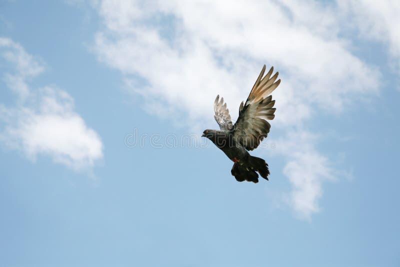 Pigeon gris en vol image stock