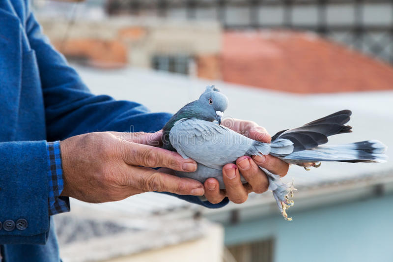 Pigeon in the hands of breeders. Background royalty free stock photography