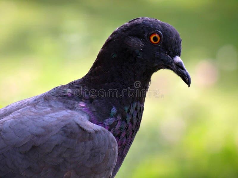 Pigeon head royalty free stock photos