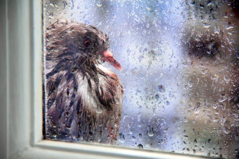 Pigeon humide en dehors de Windows en gouttes de pluie photos stock