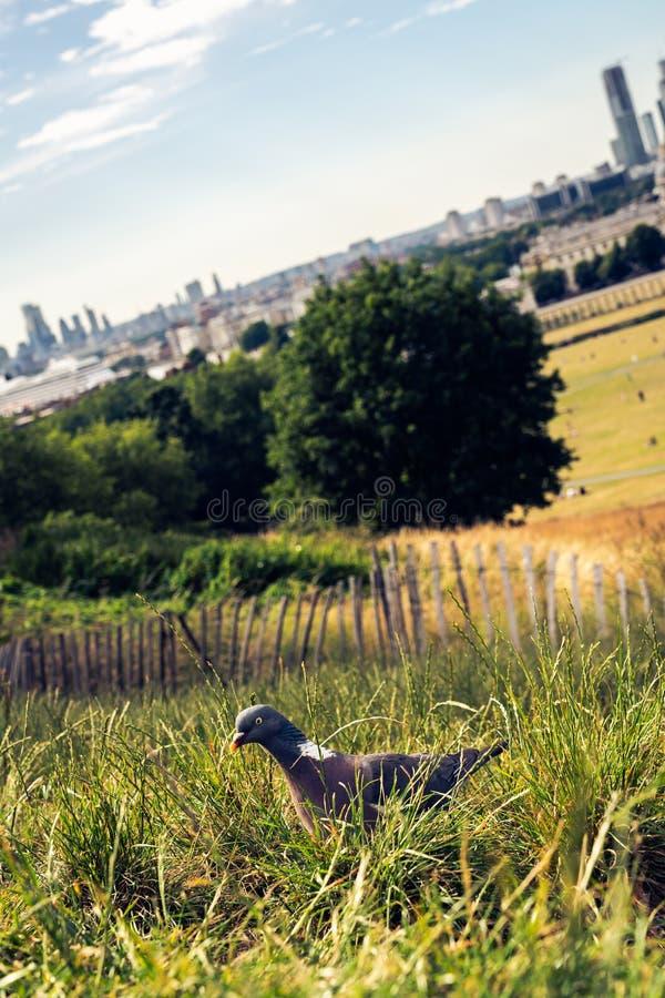 Pigeon i gräset, London i bakgrunden arkivfoton