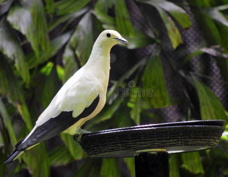 Pigeon impérial pie photo stock