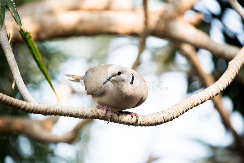 Pigeon impérial pie au conservatoire de Bloedel images stock