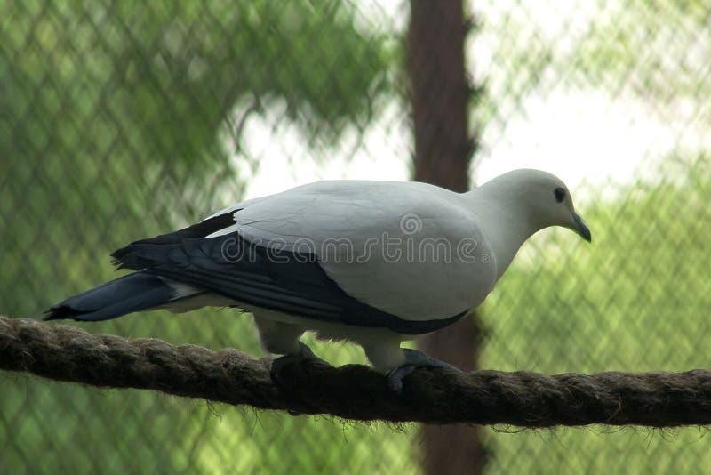 Pigeon impérial pie dans le zoo photos stock
