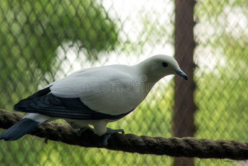 Pigeon impérial pie dans le zoo photo libre de droits