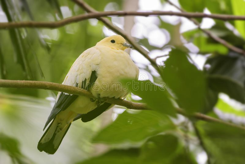 Pigeon impérial pie de fruit - Ducula bicolore photo libre de droits