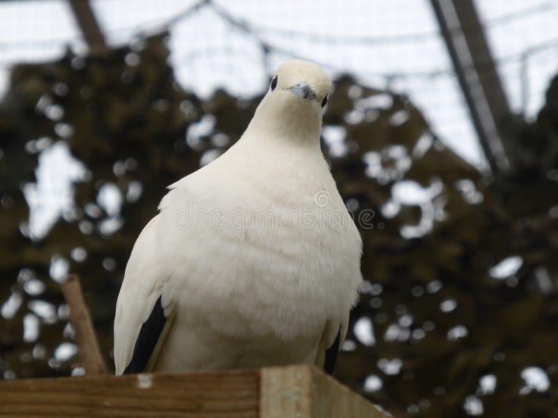 Pigeon impérial pie regardant le monde photo libre de droits