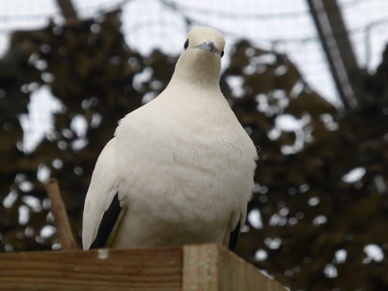 Pigeon impérial pie regardant le monde photo stock
