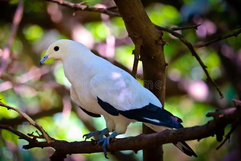 Pigeon impérial pie sur l'arbre images libres de droits