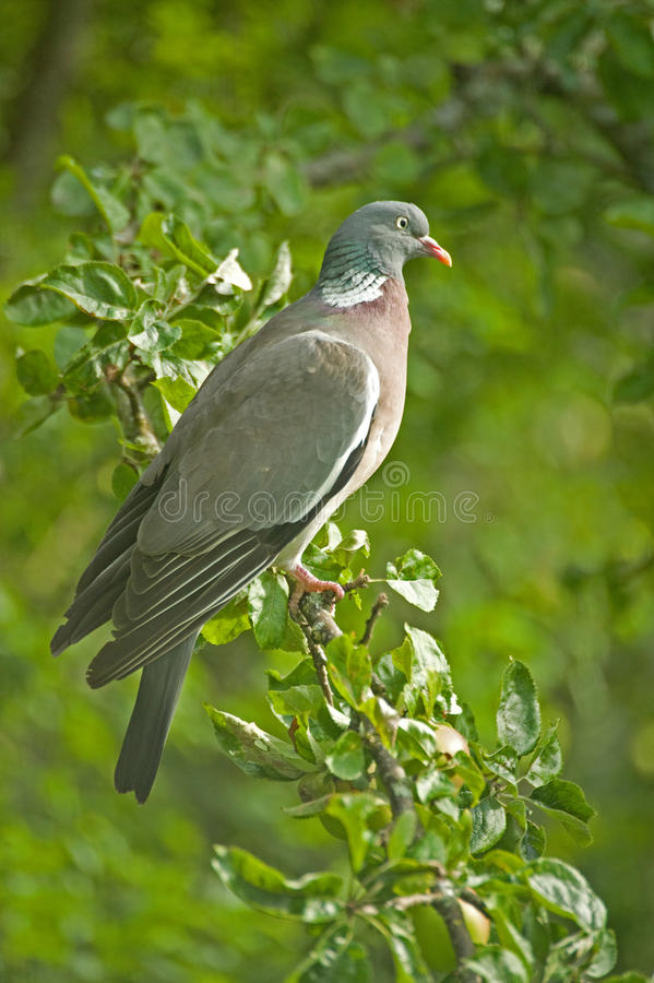Free Pigeon In An Apple Tree. Stock Image - 10581001