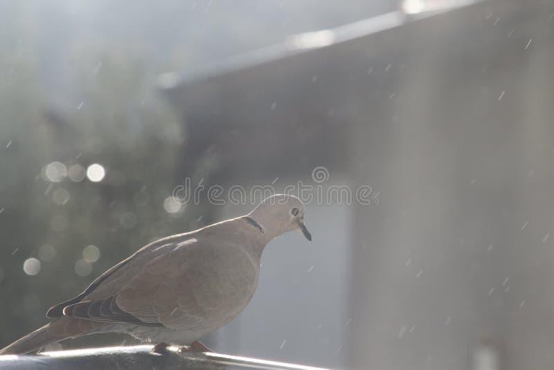 Pigeon on iron. stock photography