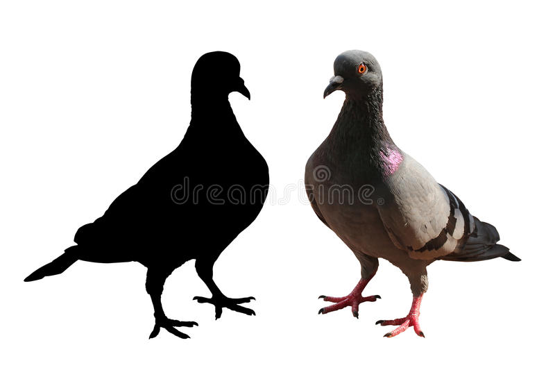 Pigeon isolated & silhouette with clipping path royalty free stock photos