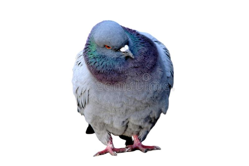 Pigeon isolated on a white background. Pigeons White graying bird with white, gray or brown plumage royalty free stock images