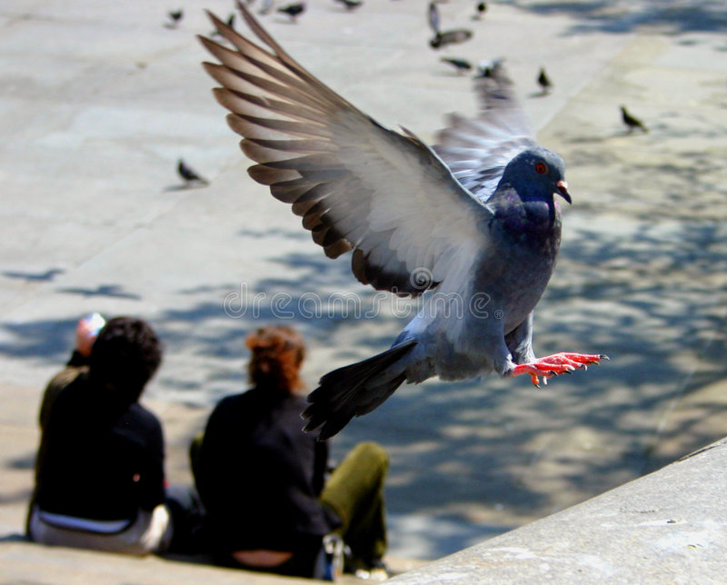 Pigeon landing - some noise visible stock photo