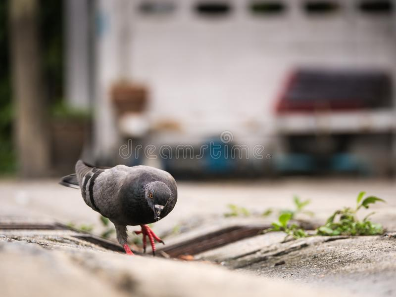 Pigeon Looking for Food on The Street stock image