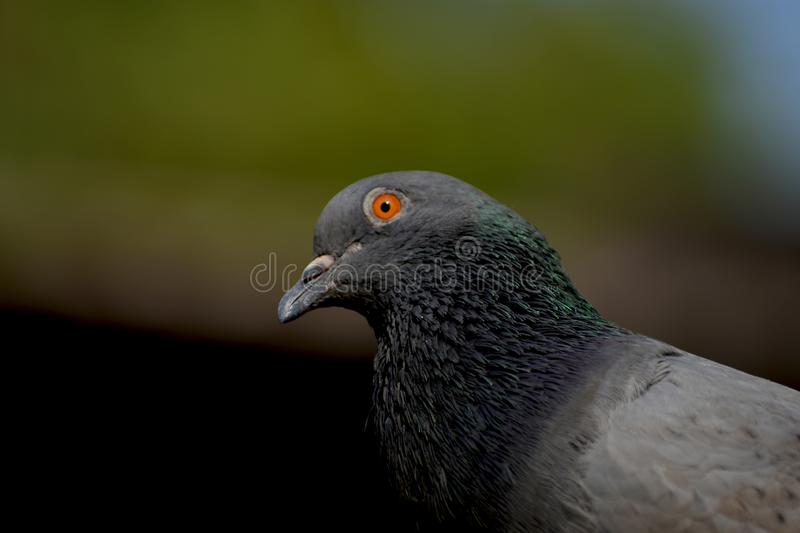 A pigeon looking forward in a lazy day. The eye towards the front side. a bird image with a beautiful background stock image